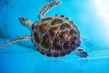 Adult turtle swims in pool of Sea Turtles Conservation Research