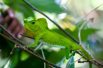 Green chameleon at tree branch in Singharaja Forest in Sri Lanka