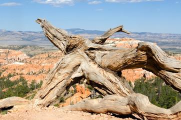 radice secca di un albero nel Bryce Canyon