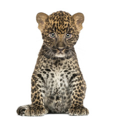 Poster Leopard Spotted Leopard cub sitting - Panthera pardus, 7 weeks old