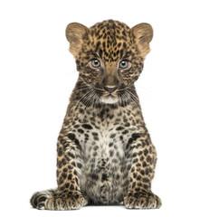 In de dag Luipaard Spotted Leopard cub sitting - Panthera pardus, 7 weeks old