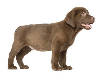 Labrador Retriever Puppy standing and Panting , 2 months old