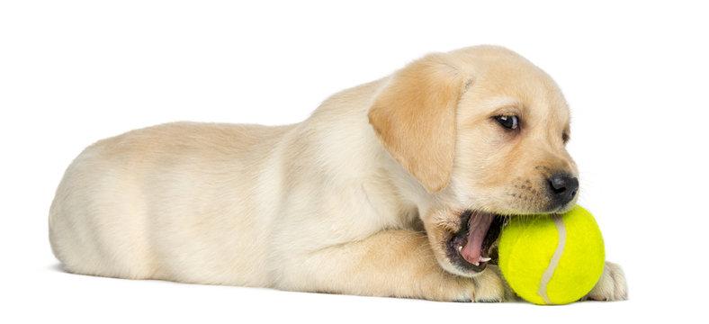 Labrador Retriever Puppy, lying and chewing a tennis bowl