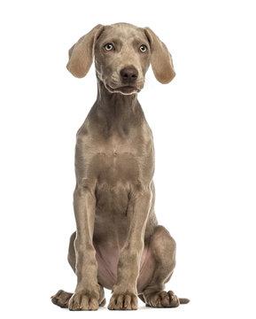 Weimaraner puppy, 2,5 months old, sitting and facing