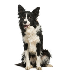 Border Collie, 1 year old, sitting and panting, isolated