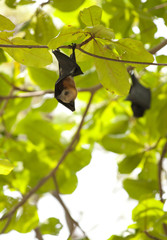 flying fox, flying fox hanging on tree at Similan Island