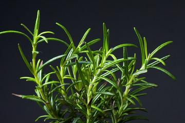 Fresh Rosemary Herb