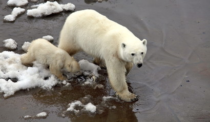 Polar she-bear with cub