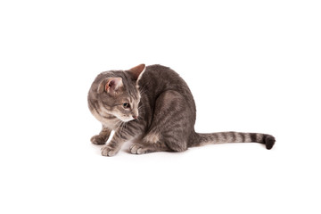 Tabby cat looking away isolated on a white background