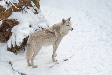 Wall Mural - Tundra wolf (Canis lupus arctos) on the snow