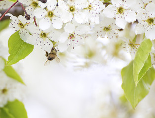Honey bee white cherry blossom flowers with copy space