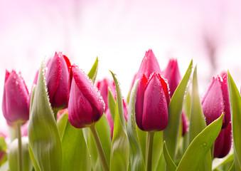 Keuken foto achterwand Tulp Fresh Tulips with Dew Drops