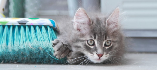 Gattino siberiano color blu gioca con la scopa
