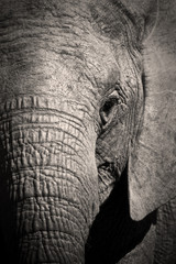 Elephant cow close up