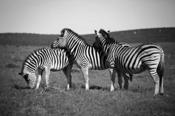 Aluminium Prints Zebra Zebras resting their heads