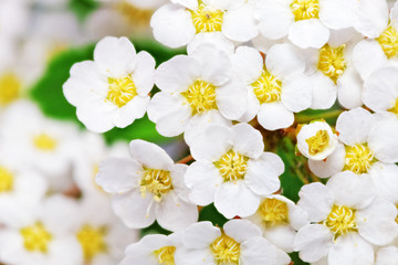 Photo sur Aluminium Macro Beautiful white flowering shrub Spirea aguta (Brides wreath).