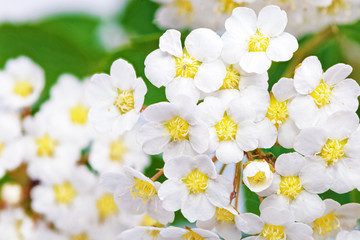 Foto auf Acrylglas Makro Beautiful white flowering shrub Spirea aguta (Brides wreath).
