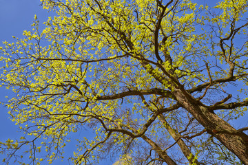 Tuinposter Aan het plafond Tree canopy in spring time over blue sunny sky, low angle shot.