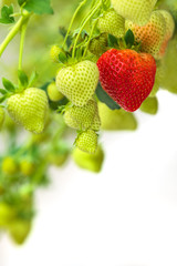 Green and red strawberries against a white background