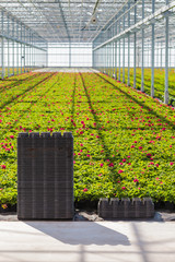 Crates in front of rows of young geranium plants