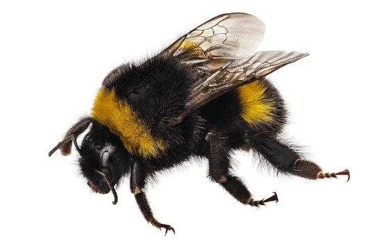 Bumblebee species Bombus terrestris