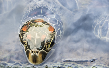 Head of a Turtle coming out from the Water Surface