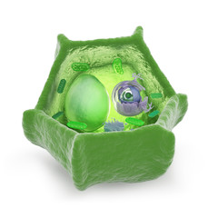 Plant cell cutaway illustration