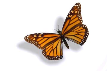 papillon 23