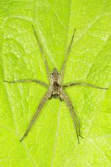 Pisaura mirabilis / The nursery web spider