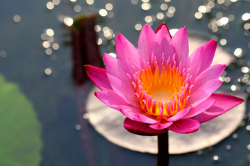 Beautiful Lotus and Bokeh
