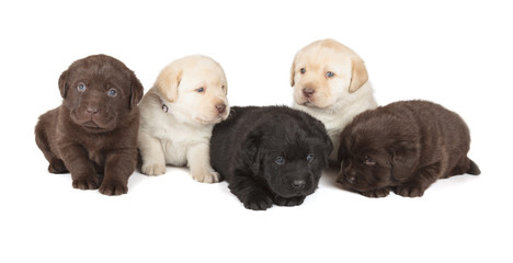 Fotobehang - Five Labrador Retriever Puppies