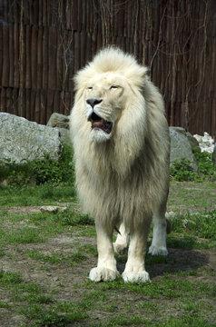 The male white lion in ZOO, Bratislava