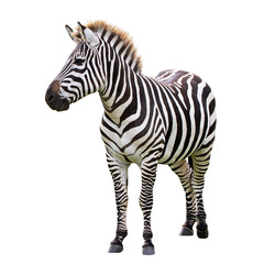 Zelfklevend Fotobehang Zebra Zebra isolated on white