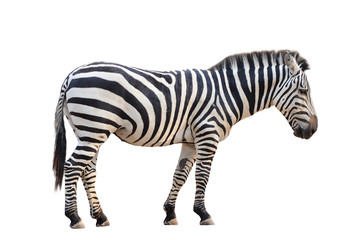 Poster de jardin Zebra zebra isolated