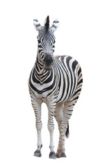 Poster Zebra zebra isolated