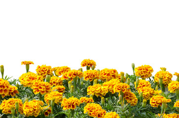 French Marigolds blooming isolated on white background