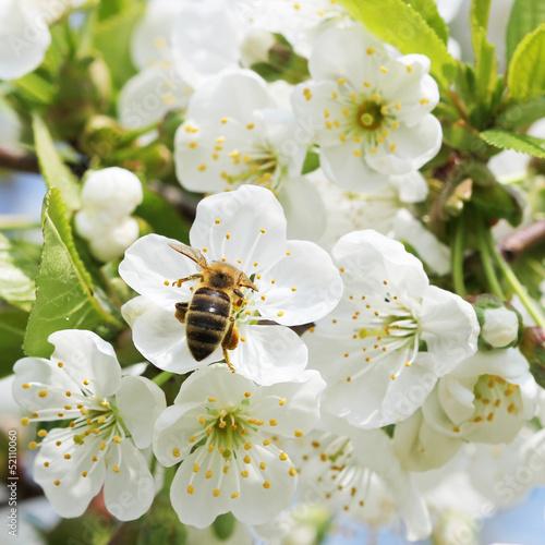 Fototapete Biene in Apfelbaum Blüte
