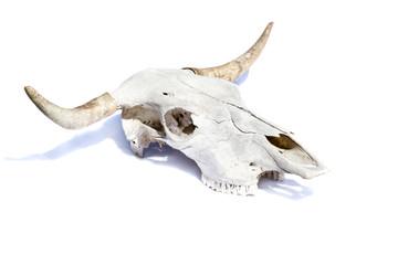 bull skull -  isolated