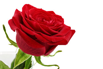 Beautiful red  rose flower. Isolated.