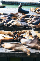Sea Lions at San francisco,