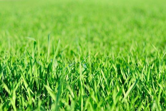 Detail view of green grass in garden in spring