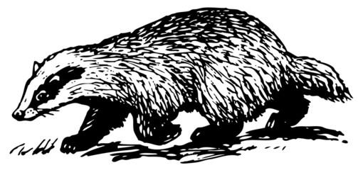 European Badger