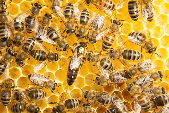 Queen bee in bee hive laying eggs