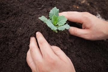 Someone is planting a shrub