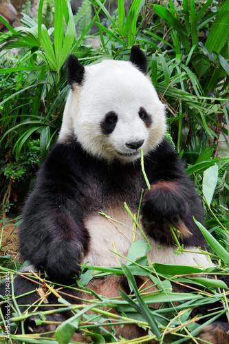 Fototapete Wild panda