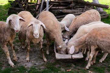 Eating sheep