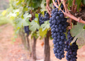 Macro Row of Grapes Fruit Hanging Vine Vineyard Agriculture