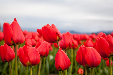 close up red tulips