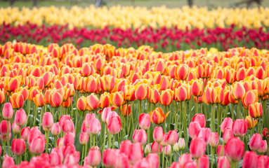 row of colorful tulips on the field in the spring