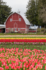 colorful tulip field and farmer barn